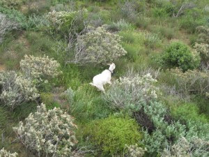 Judas goats were radio tracked during shooting operations, but the collared goats left so they could be tracked to another mob during the next shoot.